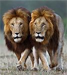 Kenya, Masai Mara, Narok County. Two adult male lions patrolling their territory.