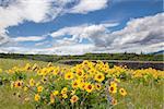 Arrowleaf Balsamroot Wildflowers Blooming in Spring Season at Rowena Crest Along Columbia River Gorge Oregon