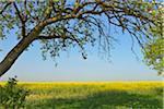 Fruit Tree and Canola Field, Bad Mergentheim, Baden-Wurttemberg, Germany