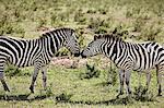 Two zebras face to face, Masai Mara, Narok, Kenya, Africa
