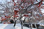 Cherry trees in a garden after a snow storm, Boston Public Garden, Boston, Suffolk County, Massachusetts, USA