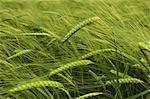 Wheat growing in the field.
