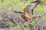 Immature Galapagos hawk (Buteo galapagoensis) in Urbina Bay, Isabela Island, Galapagos Islands, Ecuador, South America