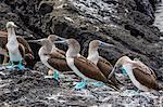 Blue-footed boobies (Sula nebouxii) at Puerto Egas, Santiago Island, Galapagos Islands, Ecuador, South America