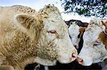 Bull nuzzles up to cows, Hazleton, Gloucestershire, The Cotswolds, England, United Kingdom