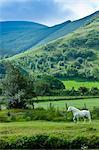 Welsh pony in typical Welsh mountain landscape in Snowdonia, Gwynedd, Wales