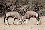 Two gemsbok (South African oryx) (Oryx gazella) fighting, Kgalagadi Transfrontier Park, encompassing the former Kalahari Gemsbok National Park, South Africa, Africa