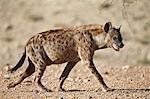 Spotted hyena) (spotted hyaena) (Crocuta crocuta), Kgalagadi Transfrontier Park, encompassing the former Kalahari Gemsbok National Park, South Africa, Africa