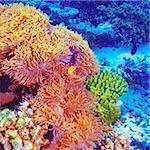 Clown fish swimming in coral garden, beautiful undersea nature, majestic marine life, diving on Maldives island