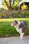Australian Shepherd Dog with Tennis Ball in Backyard, Utah, USA