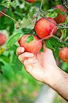 Man's Hand Picking An Apple, Croatia, Europe