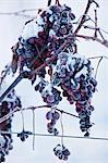 Ice Wine Grapes In Winter, Baranja, Croatia, Europe