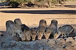 Lion (Panthera leo) family drinking, Kgalagadi Transfrontier Park, encompassing the former Kalahari Gemsbok National Park, South Africa, Africa