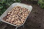 Wheelbarrow full of freshly harvested potatoes