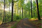 Sunbeams in European Beech (Fagus sylvatica) Forest, Spessart, Bavaria, Germany