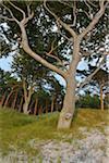 Coastal Forest with Beech Trees, Summer, Darss West Beach, Prerow, Darss, Fischland-Darss-Zingst, Baltic Sea, Western Pomerania, Germany