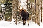 Moose in a winter scene