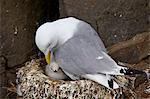 Black-Legged Kittiwake (Rissa tridactyla) adult and chick on the nest, Iceland, Polar Regions