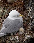 Black-Legged Kittiwake (Rissa tridactyla) adult and two chicks on the nest, Iceland, Polar Regions