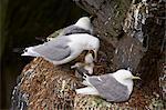 Black-Legged Kittiwake (Rissa tridactyla) adult feeding a chick on the nest, Iceland, Polar Regions