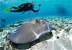Diver observes stingray.