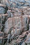 Brunnich's Guillemots and Black-legged Kittiwakes on the cliffs of Kolyuchin Island, Chuckchi Sea, Chukotka, Russia, Eurasia