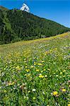 Alpine wildflower meadow in the Swiss Alps below the Matterhorn near Zermatt, Valais, Switzerland, Europe