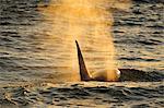 Orca (Orcinus orca) adult male, Peninsula Valdes, Patagonia, Argentina, South America