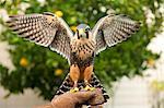Aplomado falcon (Falco femoralis), falconry, Argentina, South America