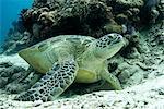 Green sea turtles (Chelonia mydas) common around Pom Pom Island, an important nesting grounds for these marine turtles, Celebes Sea, Sabah, Malaysia, Southeast Asia, Asia