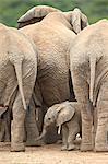 African elephant (Loxodonta africana) baby, Addo Elephant National Park, South Africa, Africa