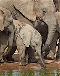 Baby African elephant (Loxodonta africana) drinking, Addo Elephant National Park, South Africa, Africa