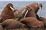 Walruses on beach, Odobenus rosmarus, Bering Sea