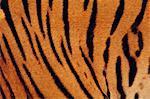 Bengal tiger skin, Panthera tigris tigris, Western Ghats, India