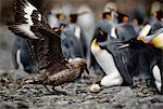 Brown skua, Catharacta antarctica, stealing king penguin egg, Aptenodytes patagonicus, South Georgia Island