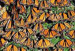 Monarch butterflies sunning, Danaus plexippus, Michoacan, Mexico