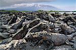 Marine iguanas, Amblyrhynchus cristatus, Fernandina Island, Galapagos Islands