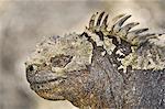 Marine iguana, Amblyrhynchus cristatus, Galapagos Islands