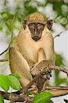 Green Vervet Monkey resting in tree, Chlorocebus sabaeus, Niokolo-Koba National Park, Senegal