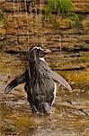 Rockhopper penguin bathing under waterfall, Eudyptes chrysocome, Saunders Island, Falkland Islands