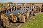 King penguin chicks, Aptenodytes patagonicus, Falkland Islands