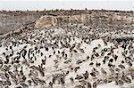 Brown pelicans, Pelecanus occidentalis, Brandt's cormorants, Phalacrocorax penicillatus and California sealions, Zalophus californianus, Ano Nuevo Island, Monterey Bay, California