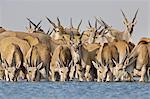 Elands drinking at waterhole, Taurotragus oryx, Etosha National Park, Namibia