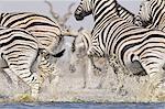 Zebras running from waterhole, Equus quagga, Etosha National Park, Namibia