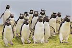 Rockhopper penguins coming ashore, Eudyptes chrysocome, Falkland Islands