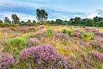 Heather Moorland landscape