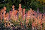 Rosebay Fireweed