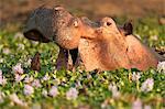 Hippopotamus / Hippo - Hippopotamus amphibius - in a waterhole filled with river hyacinths in flower,  Mana Pools National Park, Zimbabwe, Africa