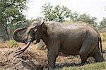 African elephant - Loxodonta africana - bull, having a mud bath,  Mana Pools National Park, Zimbabwe, Africa