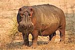Hippopotamus / Hippo - Hippopotamus amphibius,  Mana Pools National Park, Zimbabwe, Africa